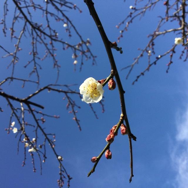 梅の花20200102