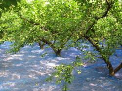 H23年6月梅畑の風景