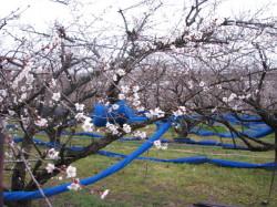 H24春梅の花五分咲き