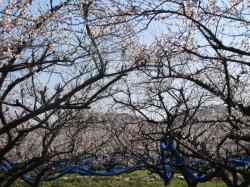満開の梅の花1