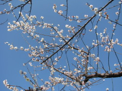 満開の梅の花2