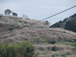 H24春満開の梅の花の山なみ1