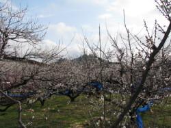 八分咲きの梅の花全景