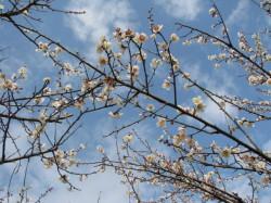 八分咲きの梅の花アップ