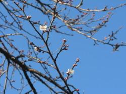 梅の花トップバッター2013