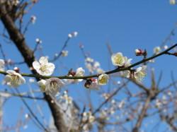 梅の花20130201