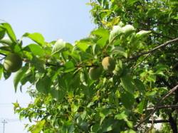 梅のこども木々