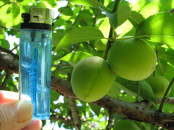 梅の実の大きさ20120501