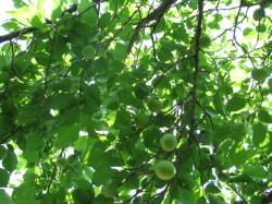 梅の生育20120502