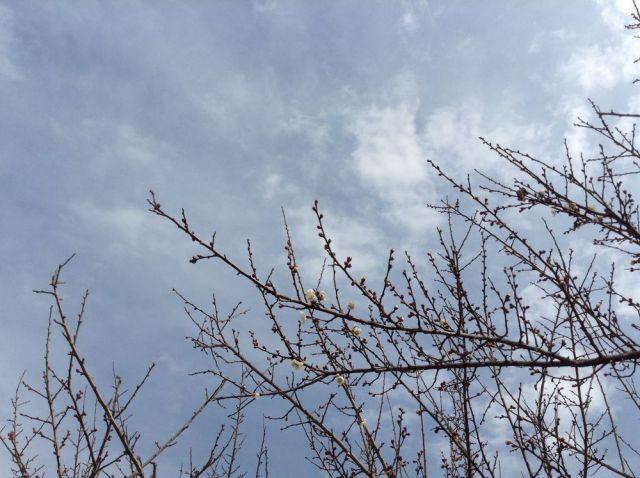 梅の花一分咲き