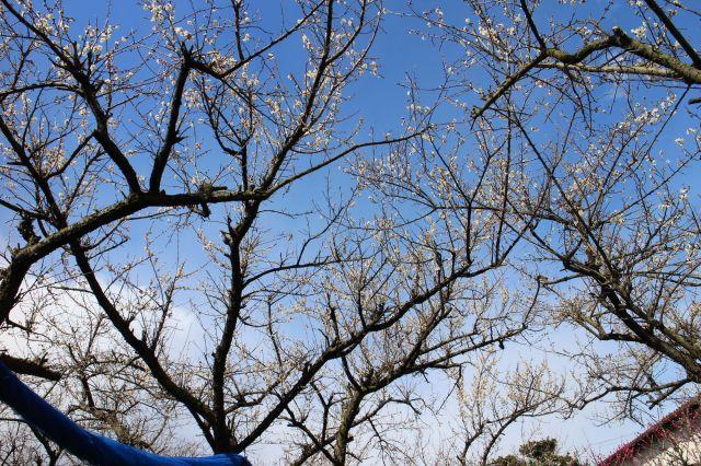梅の花五分咲き2