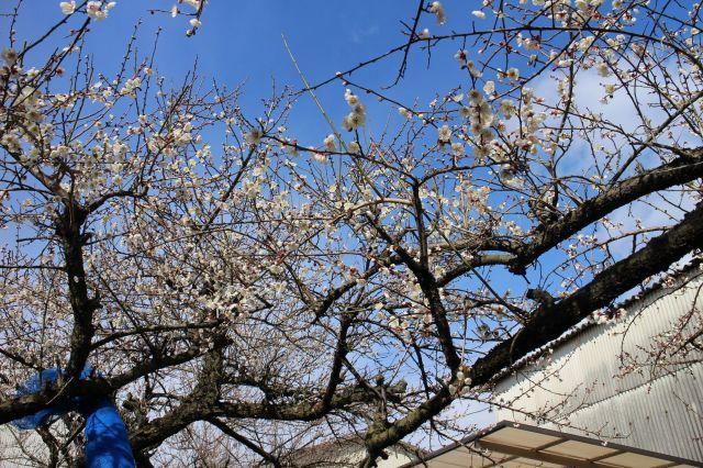 梅の花五分咲き4
