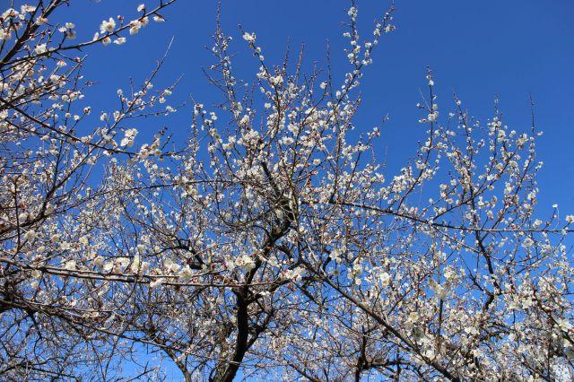 梅の花満開 3