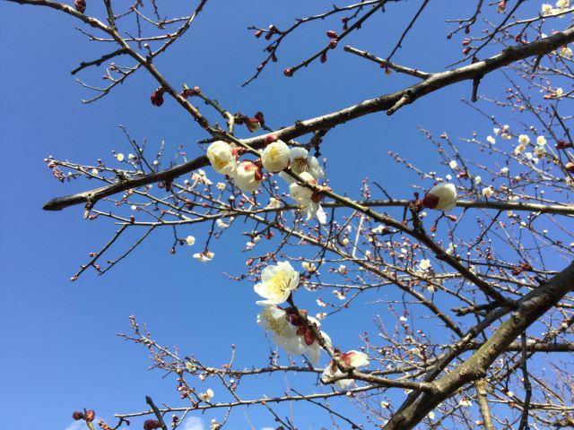 2018年(平成30年)の梅の花