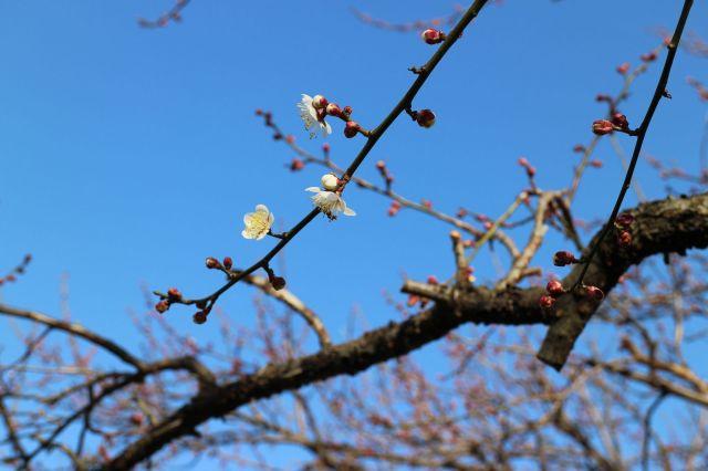 咲き始めの白梅2