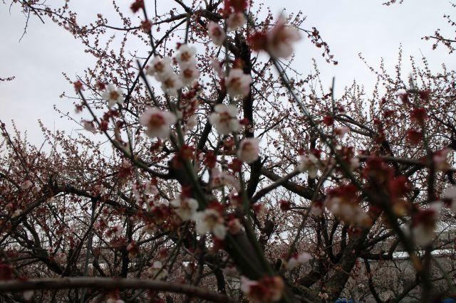 五分散りの梅花2