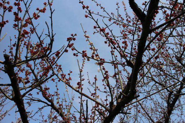 梅の花散り際1401