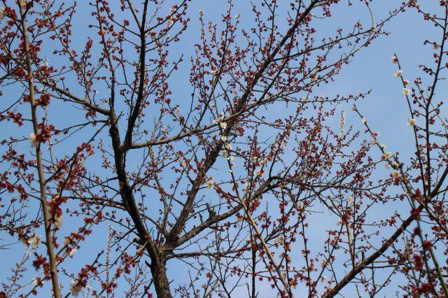 梅の花散り際1402