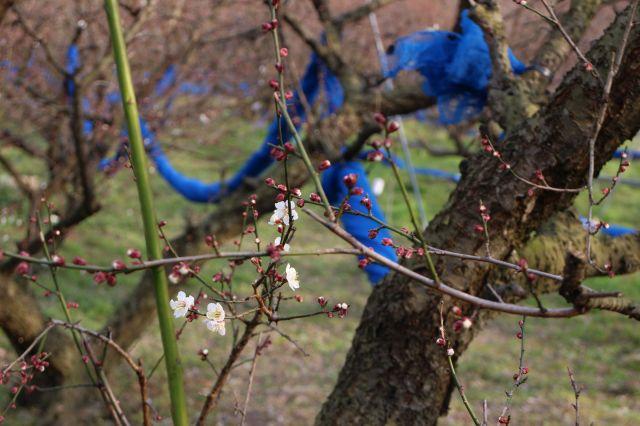 梅の花2015003