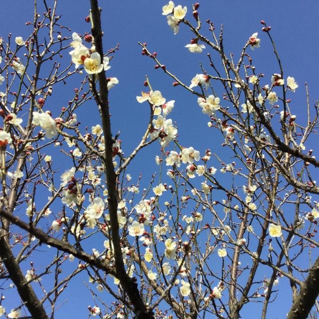 2019年 みなべ町 梅の花