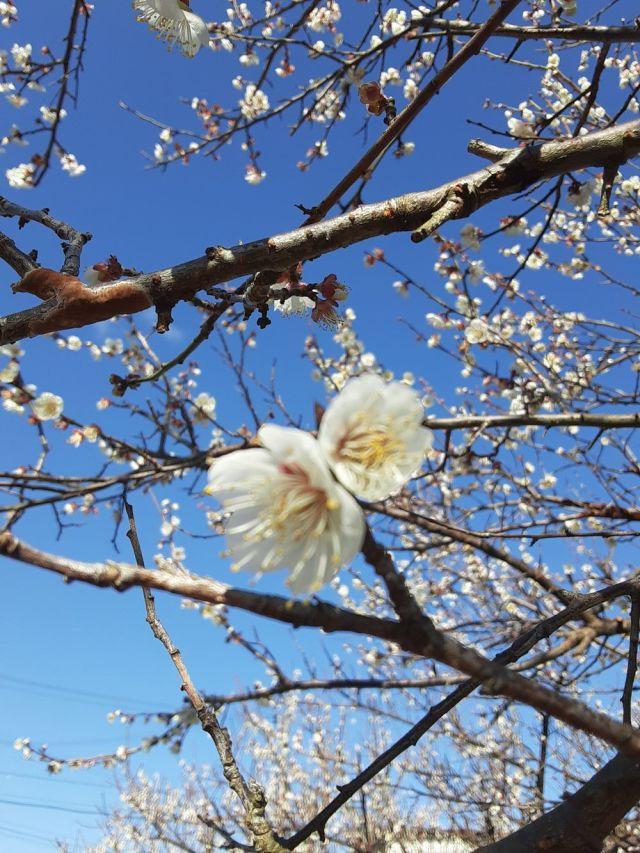 梅の花満開202002002