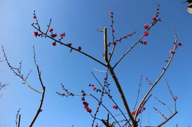 咲き始め紅梅1