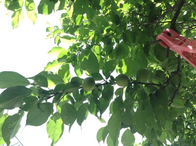 梅の実170501
