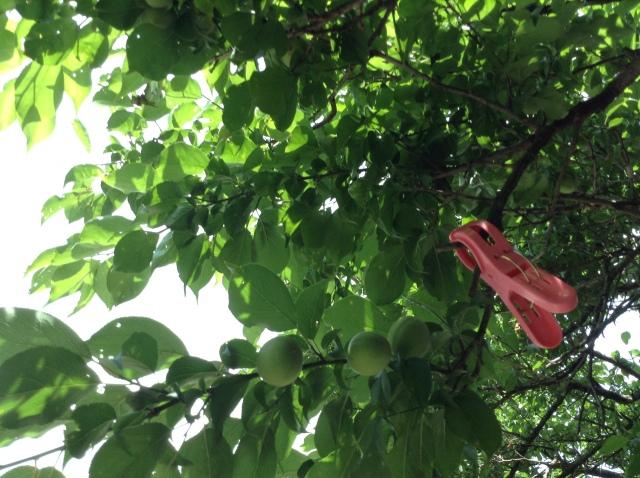 梅の実170503