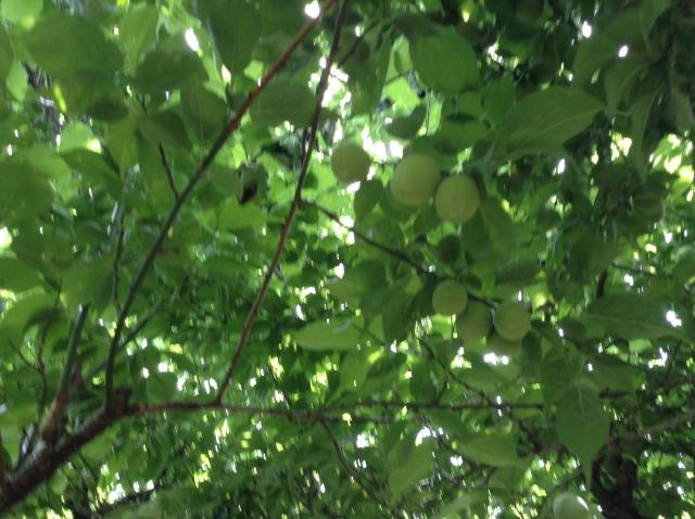 梅の実170505