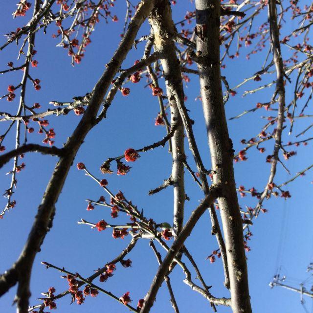 梅の実180301