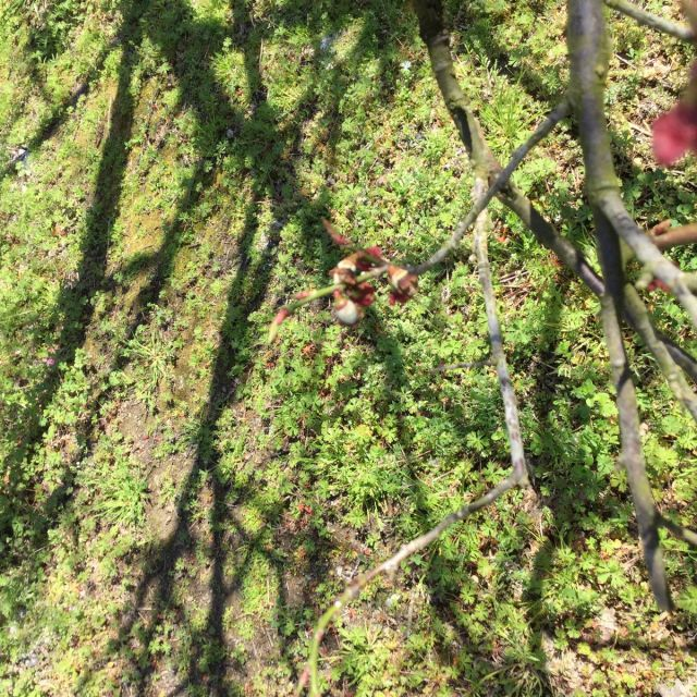 梅の実180303