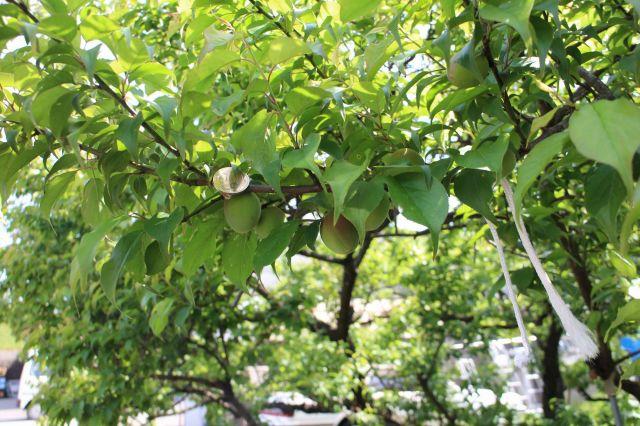 梅の実140407