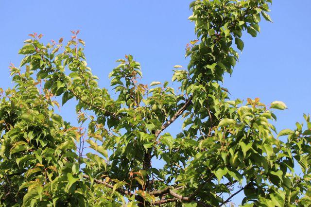 梅の実140502