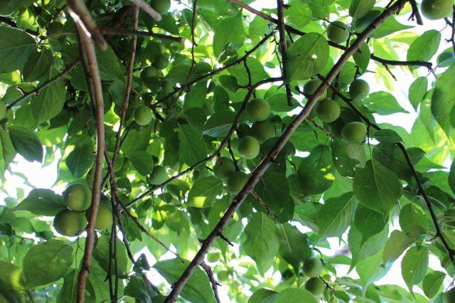 梅の実140512