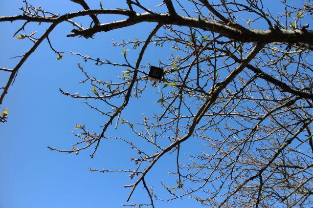 梅の実20150301