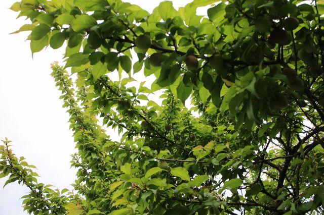 梅の実20150403