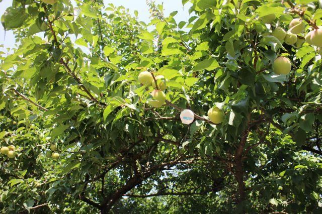 梅の実20160601