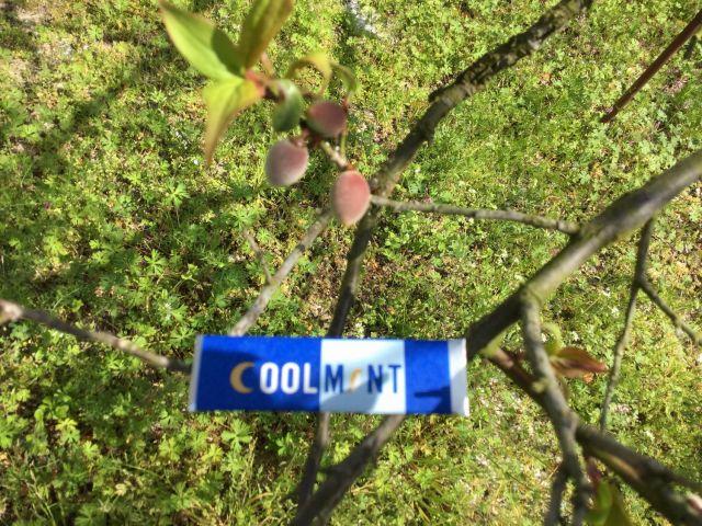 梅の実180401