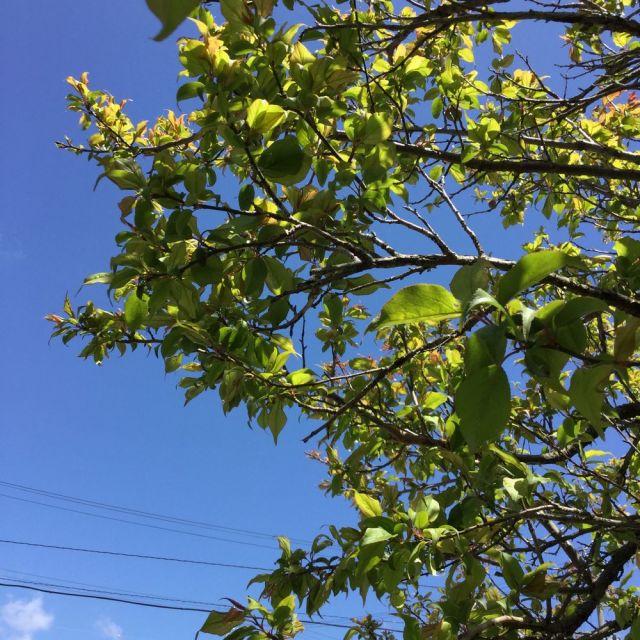 梅の実0403