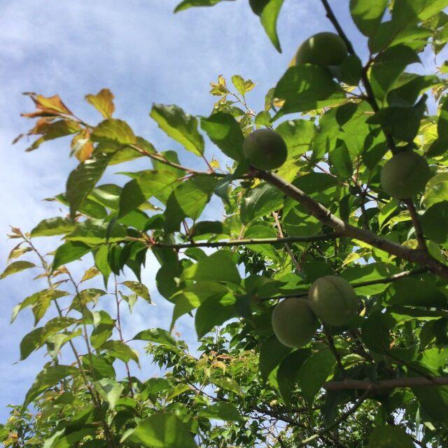 梅の実202104007