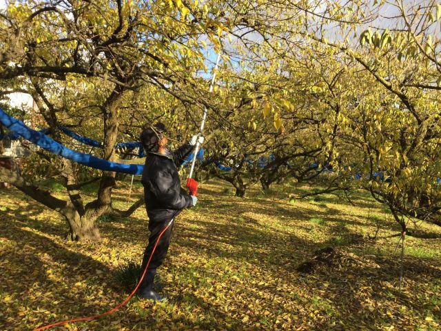 梅の木の剪定 H29