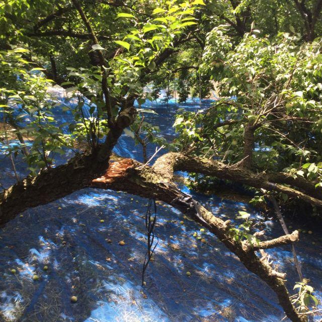 梅の木の枝が折れてしまいました