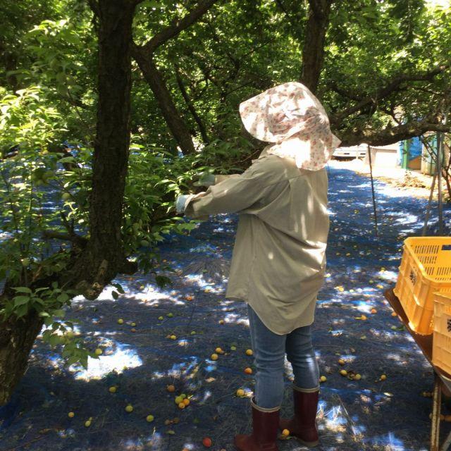梅の収穫20180605
