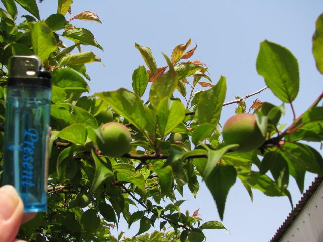 梅の実130402