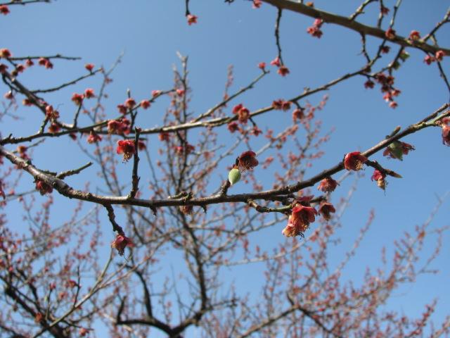 春一番の梅の実1