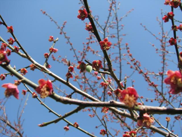 春一番の梅の実2