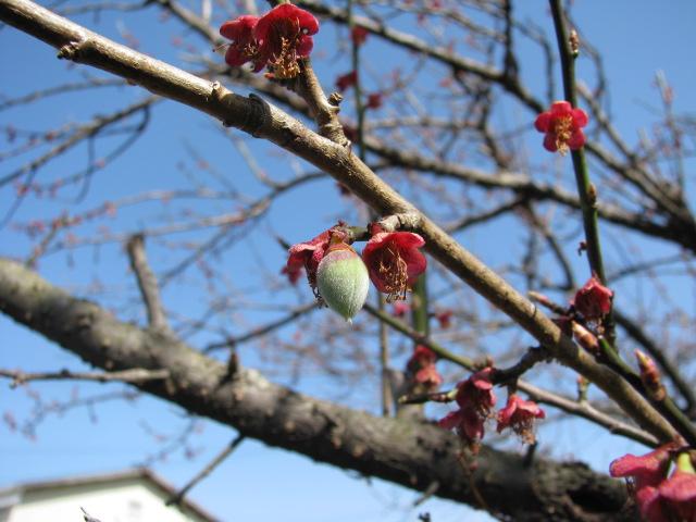 春一番の梅の実3