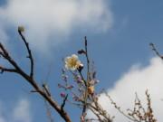 H23梅の開花02