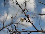 H23梅の開花04