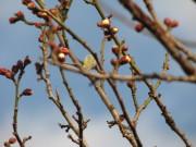 H23梅の開花05